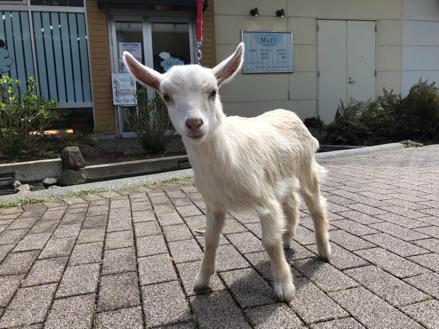 【イーアスつくば店】子ヤギのミルクあげ体験